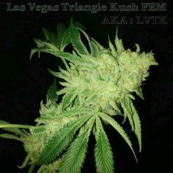 Las Vegas Triangle Kush (LVTK)