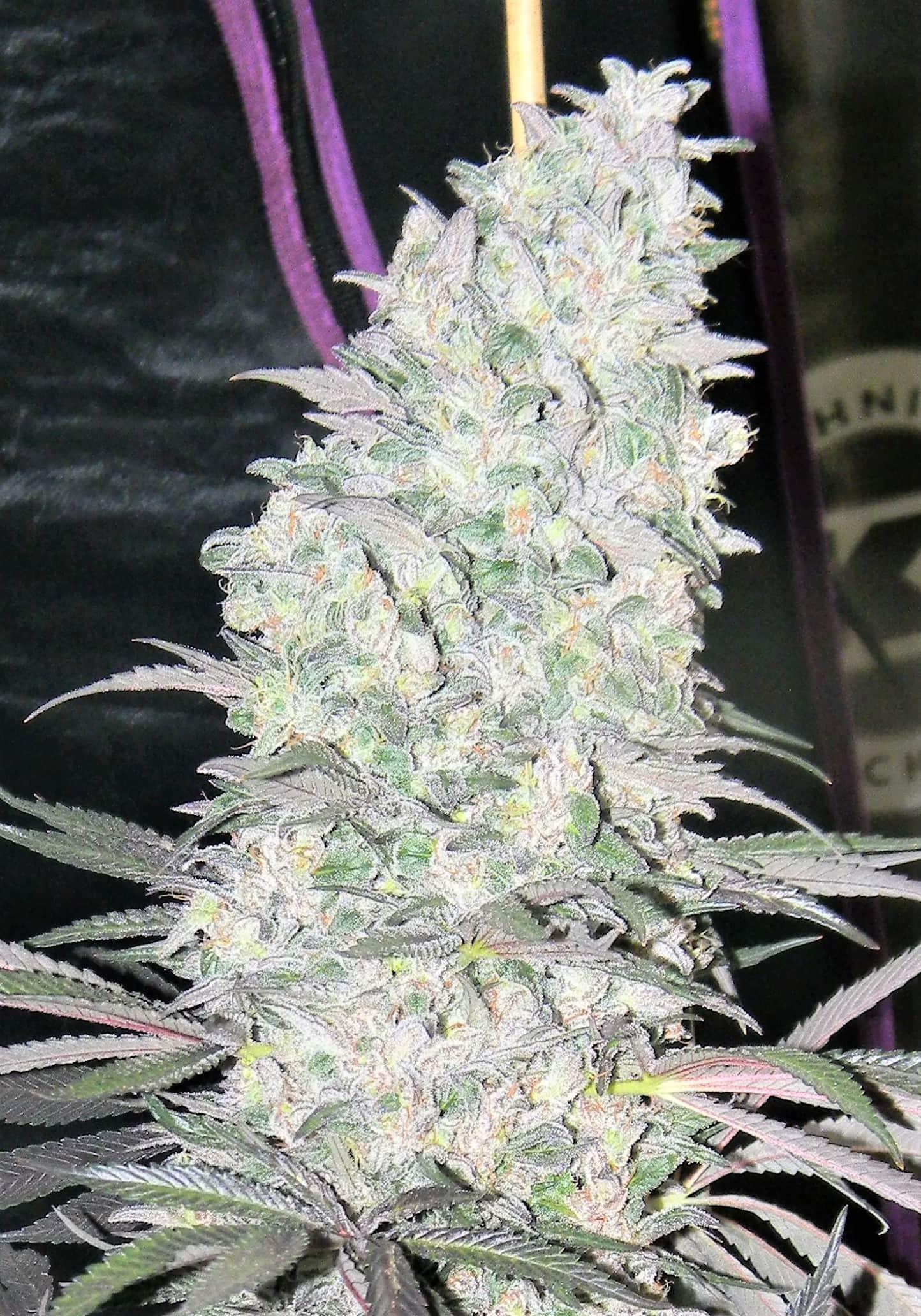 TNT Cannabis Seeds - Deathstar x Stardawg Strain | Greenpoint Seeds