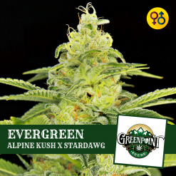 Alpine Kush Seeds - EVERGREEN - Greenpoint Seeds