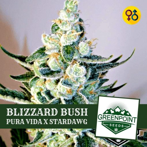 Blizzard Bush - Pura Vida X Star Dawg Cannabis Seeds | Greenpoint Seeds