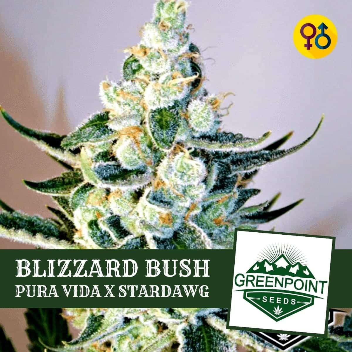 Blizzard Bush - Pura Vida X Star Dawg Cannabis Seeds | Greenpoint Seeds