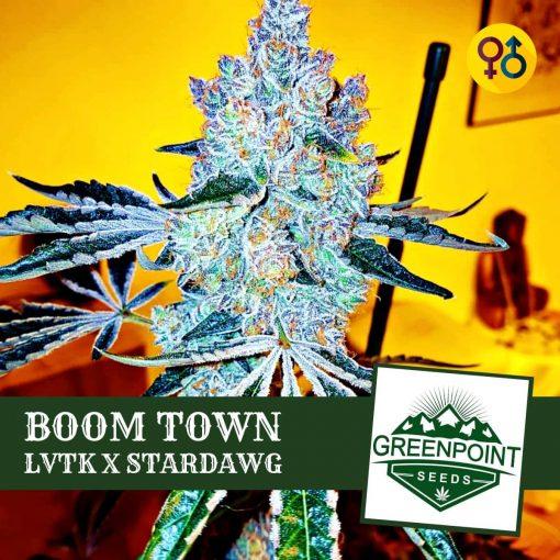 Boom Town - Las Vegas Triangle Kush (LVTK) X Stardawg | Greenpoint Seeds