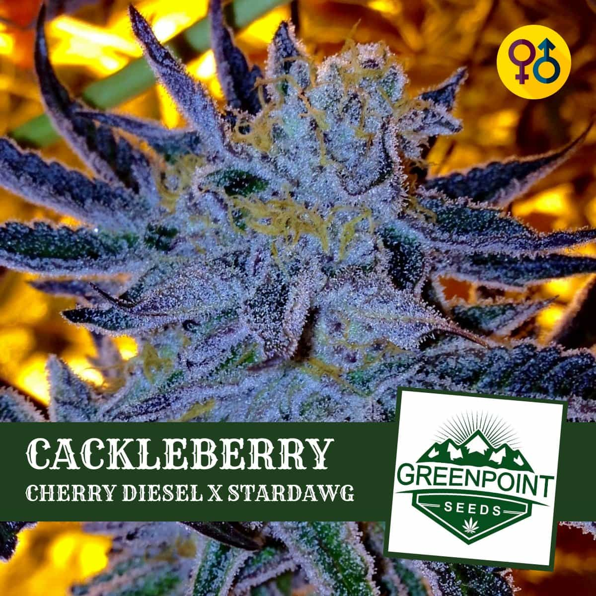 Cackleberry - Cherry Diesel X Stardawg   Greenpoint Seeds