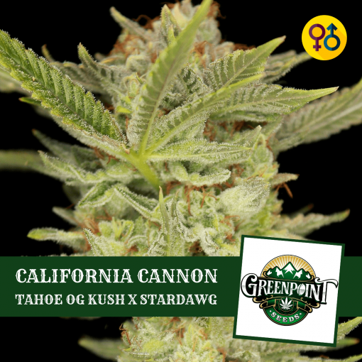 California Cannon Seeds - Tahoe OG Kush x Stardawg | Greenpoint Seeds