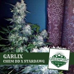 Garlix - Chem DD x Stardawg Cannabis Seeds | Greenpoint Seeds