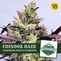 Chinook Haze - Tangerine Haze x Stardawg Cannabis Seeds | Greenpoint Seeds
