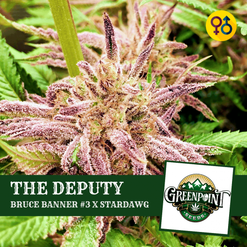 The Deputy Seeds - Bruce Banner #3 x Stardawg | Greenpoint Seeds
