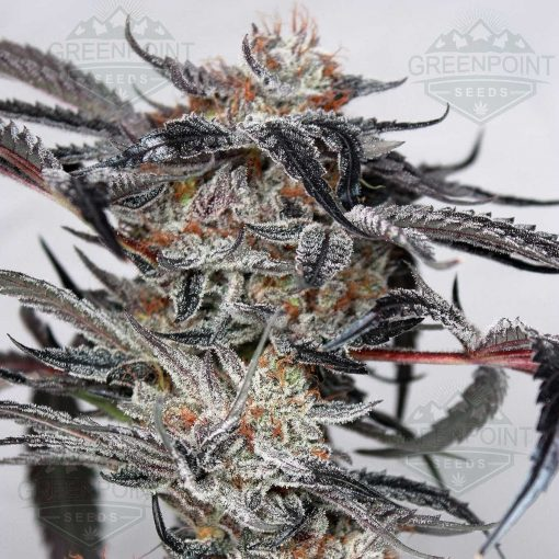 Doc Holiday - Cannabis Seeds - Greenpoint Seeds