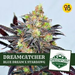 Dreamcatcher - Blue Dream X Stardawg | Greenpoint Seeds