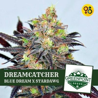Dreamcatcher - Blue Dream X Stardawg   Greenpoint Seeds