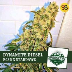 Dynamite Diesel - East Coast Sour Diesel X Stardawg | Greenpoint Seeds