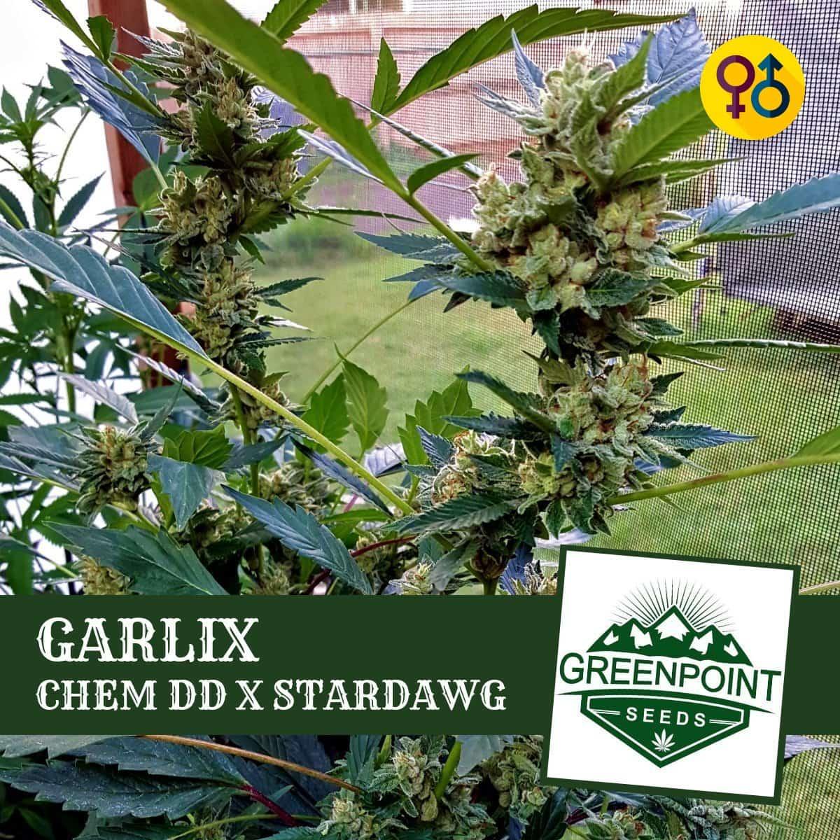 Garlix - Chem DD x Stardawg Cannabis Seeds | Greenpoint Seeds
