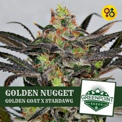 Golden Stardawg - Golden Goat X Stardawg | Greenpoint Seeds