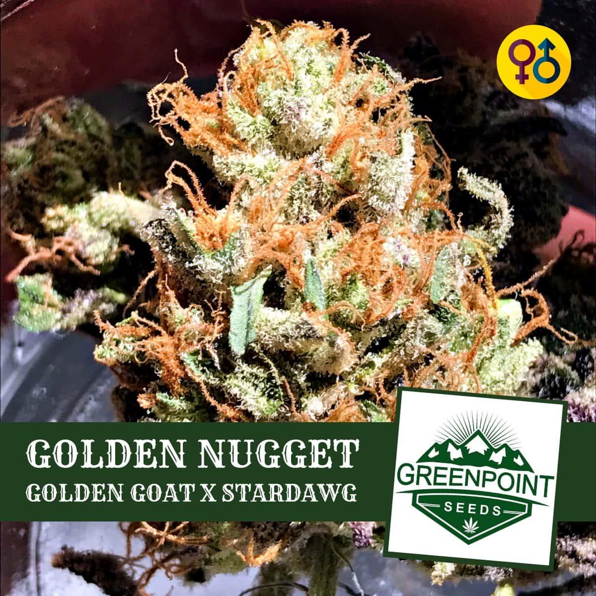 Golden Nugget - Golden Goat X Stardawg | Greenpoint Seeds