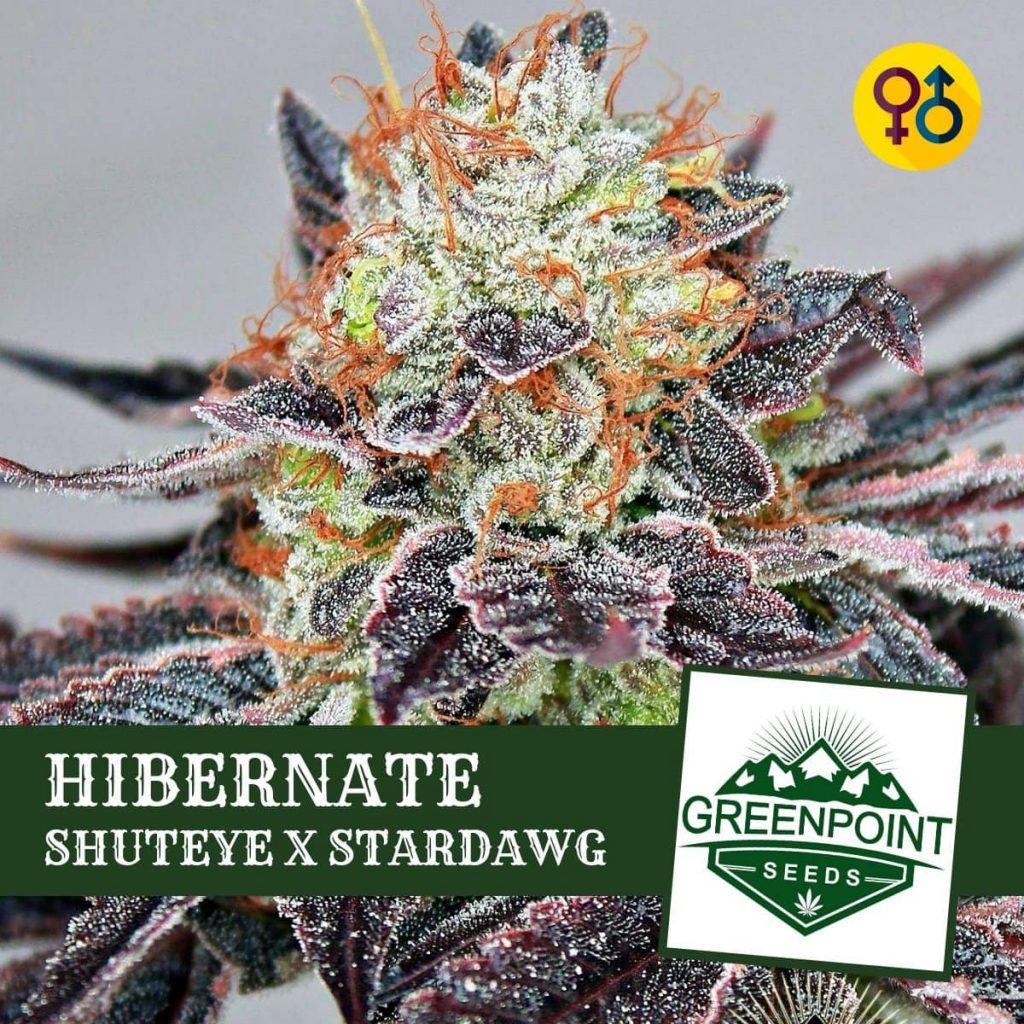 Hibernate - Shuteye X Stardawg | Greenpoint Seeds