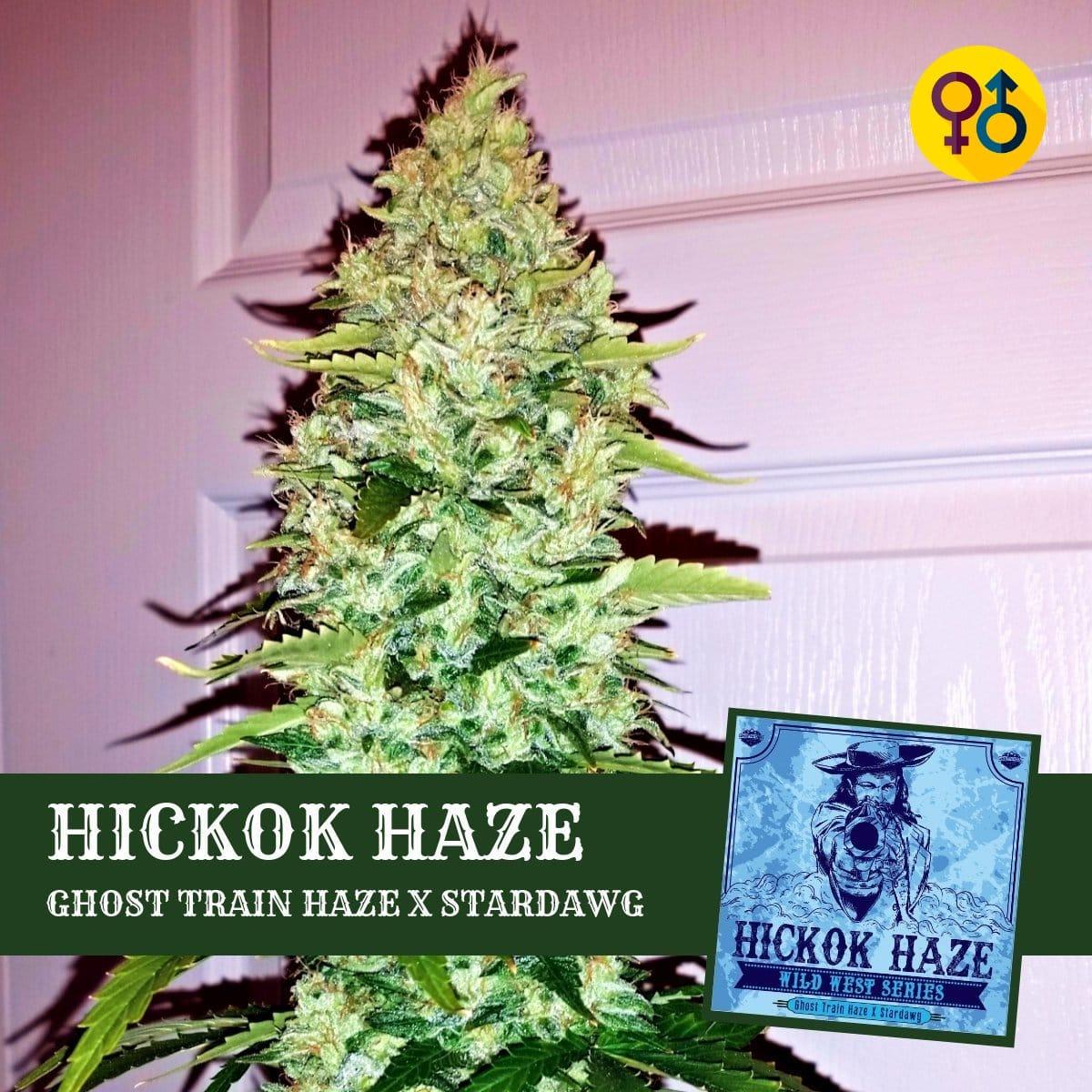 Hickok Haze - Ghost Train Haze X Stardawg   Greenpoint Seeds