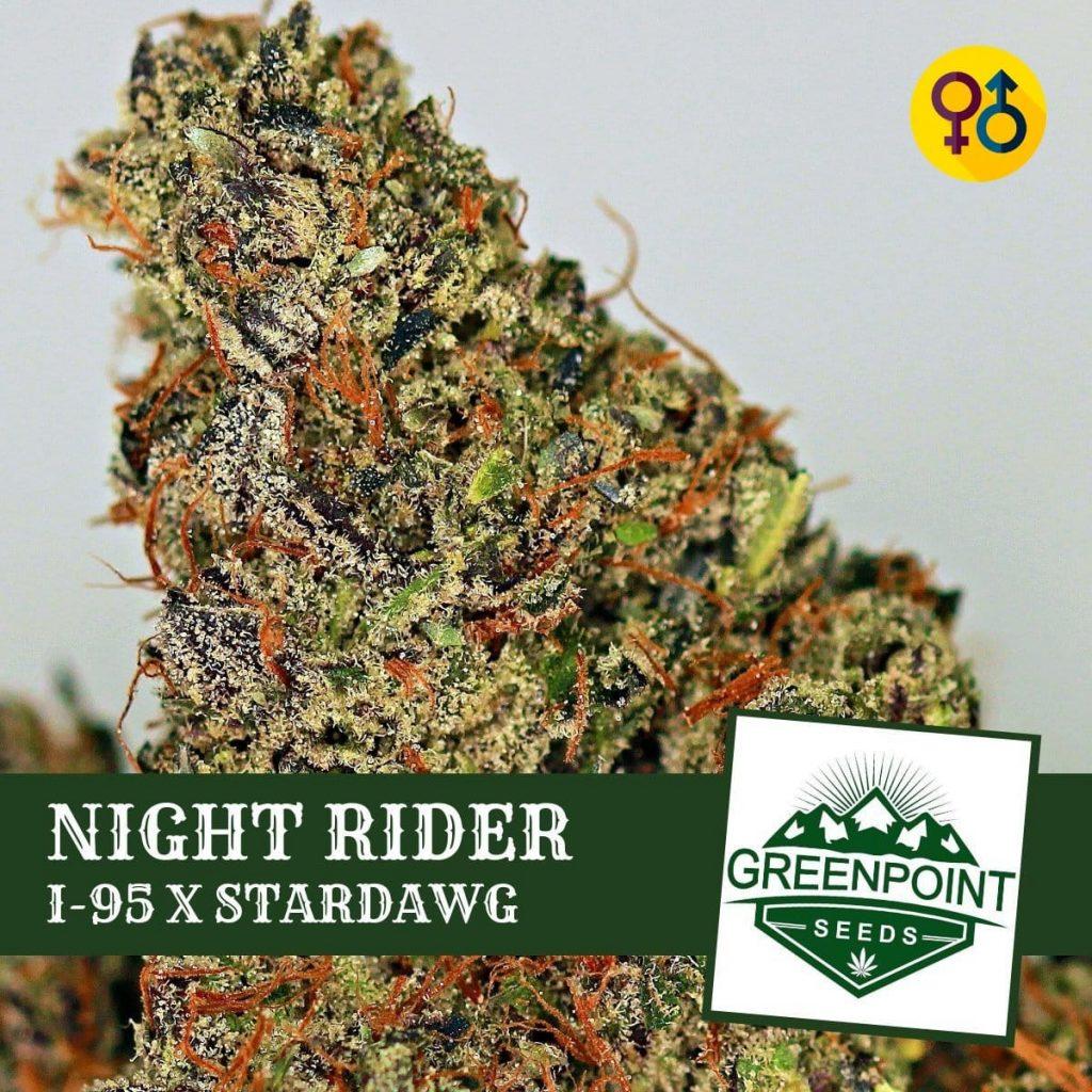 Night Rider - I-95 X Stardawg Cannabis Seeds   Greenpoint Seeds