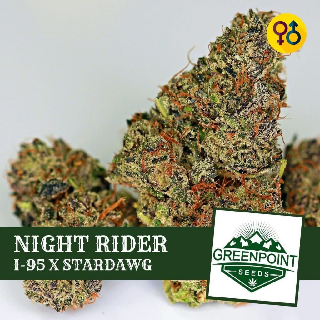 Night Rider - I95 X Stardawg Cannabis Seeds   Greenpoint Seeds