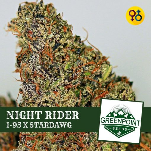 Night Rider - I-95 X Stardawg Cannabis Seeds | Greenpoint Seeds
