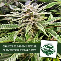 Orange Blossom Special (OBS) - Clementine x Stardawg Cannabis Seeds | Greenpoint Seeds