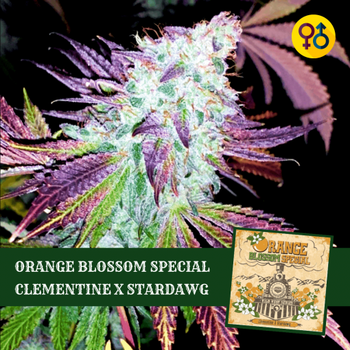 Orange Blossom Special Seeds - Clementine X Stardawg | Greenpoint Seeds