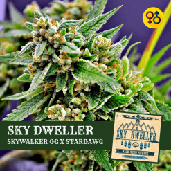 Sky Dweller Cannabis Seeds - Skywalker OG x Stardawg | Greenpoint Seeds