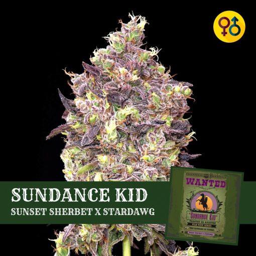 Sundance Kid - Sunset Sherbet X Stardawg | Greenpoint Seeds Strain