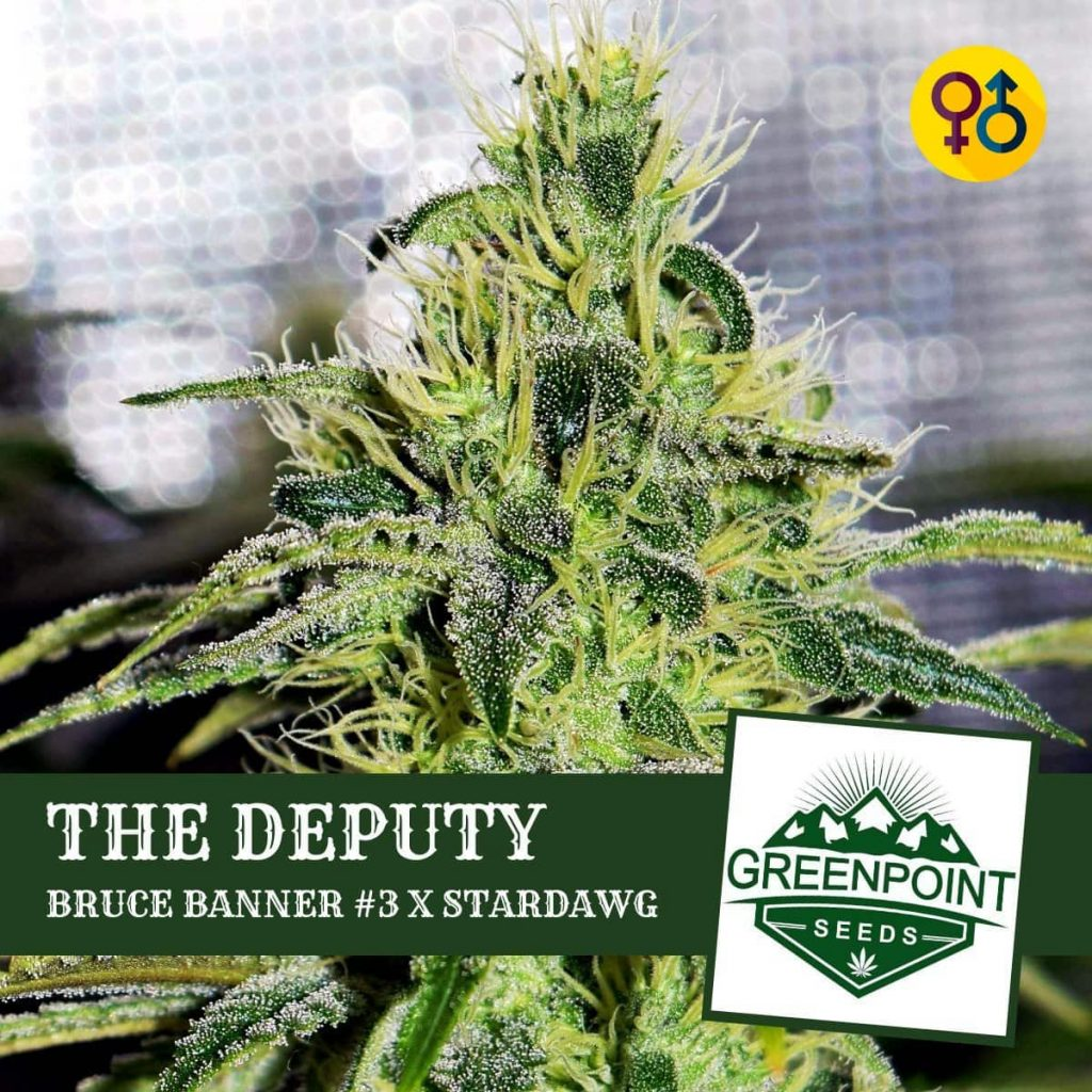 The Deputy - Bruce Banner #3 X Stardawg | Greenpoint Seeds