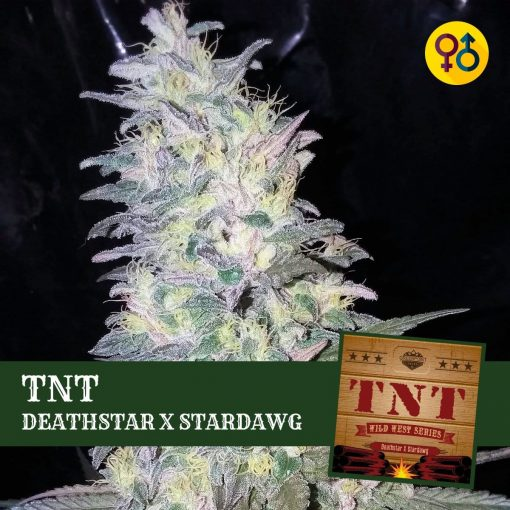 TNT - Deathstar X Stardawg Cannabis Seeds | Greenpoint Seeds