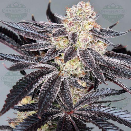 Tomahawk Cannabis Seeds - Greenpoint Seed Bank