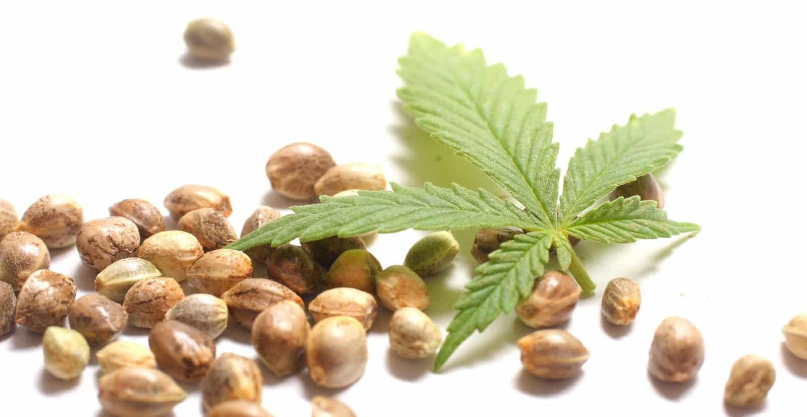 Best Cannabis Seed Bank USA