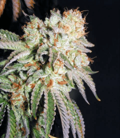 Banana OG S1 Cannabis Seeds - Greenpoint Seed Bank