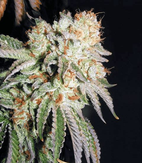 Banana OG S1 Cannabis Seeds - Greenpoint Seed Bank