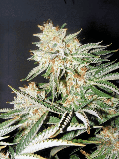 Banana OG Cannabis Seeds - Greenpoint Seeds