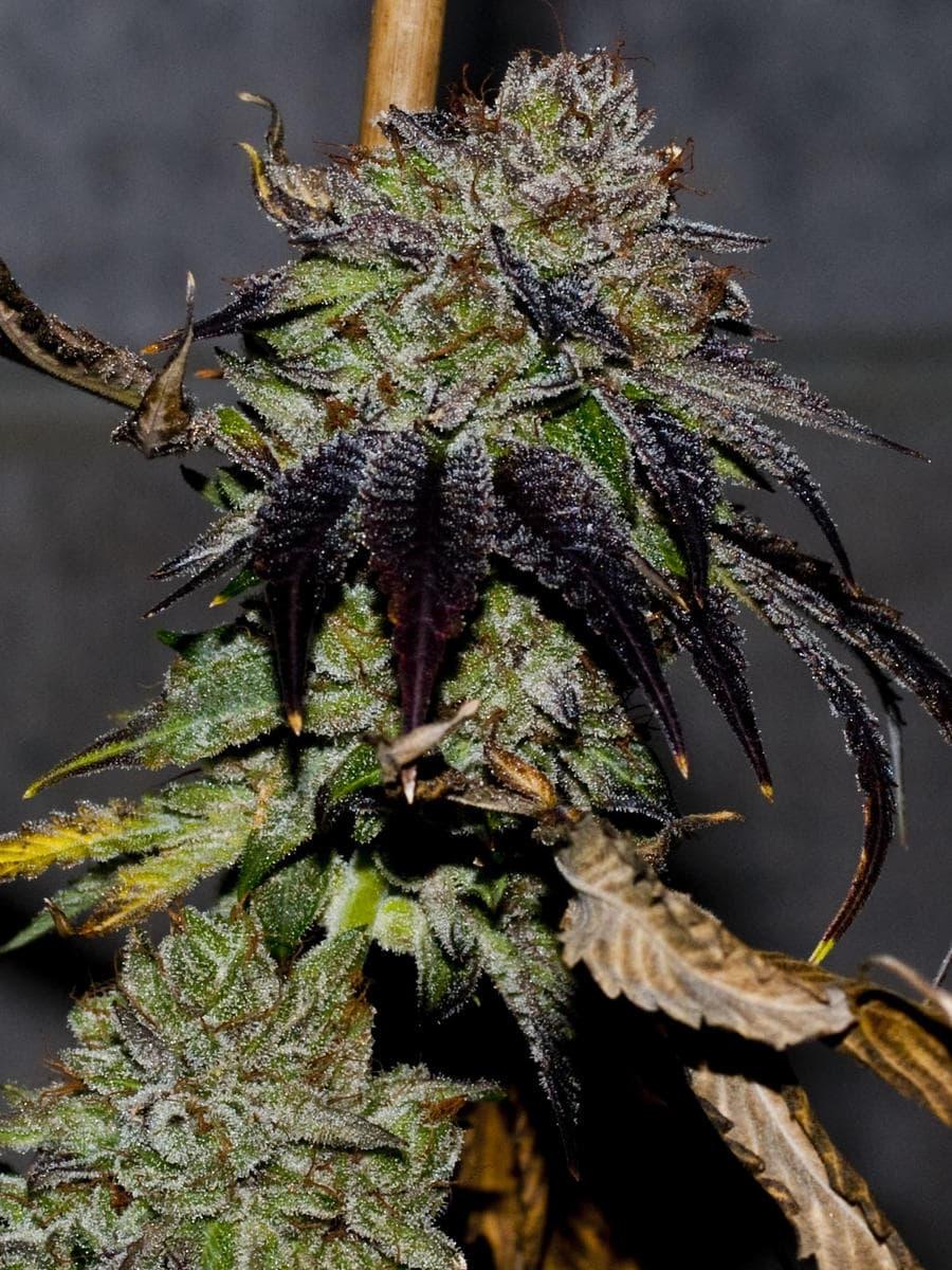 Gelato #45 S1 Marijuana Seeds - GPS