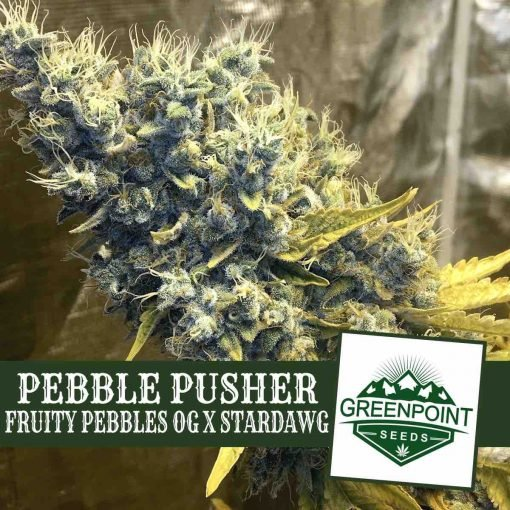 Pebble Pusher (Fruity Pebbles OG x Stardawg) - Greenpoint Seeds