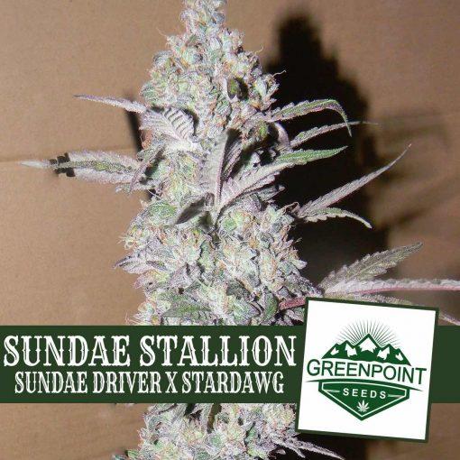 Sundae Stallion Sundae Driver x Stardawg Greenpoint Seeds