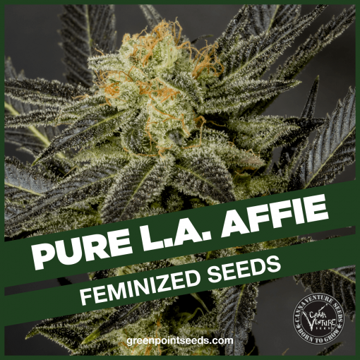 Pure L.A. Affie | Feminized Cannabis Seeds - Greenpoint Seeds
