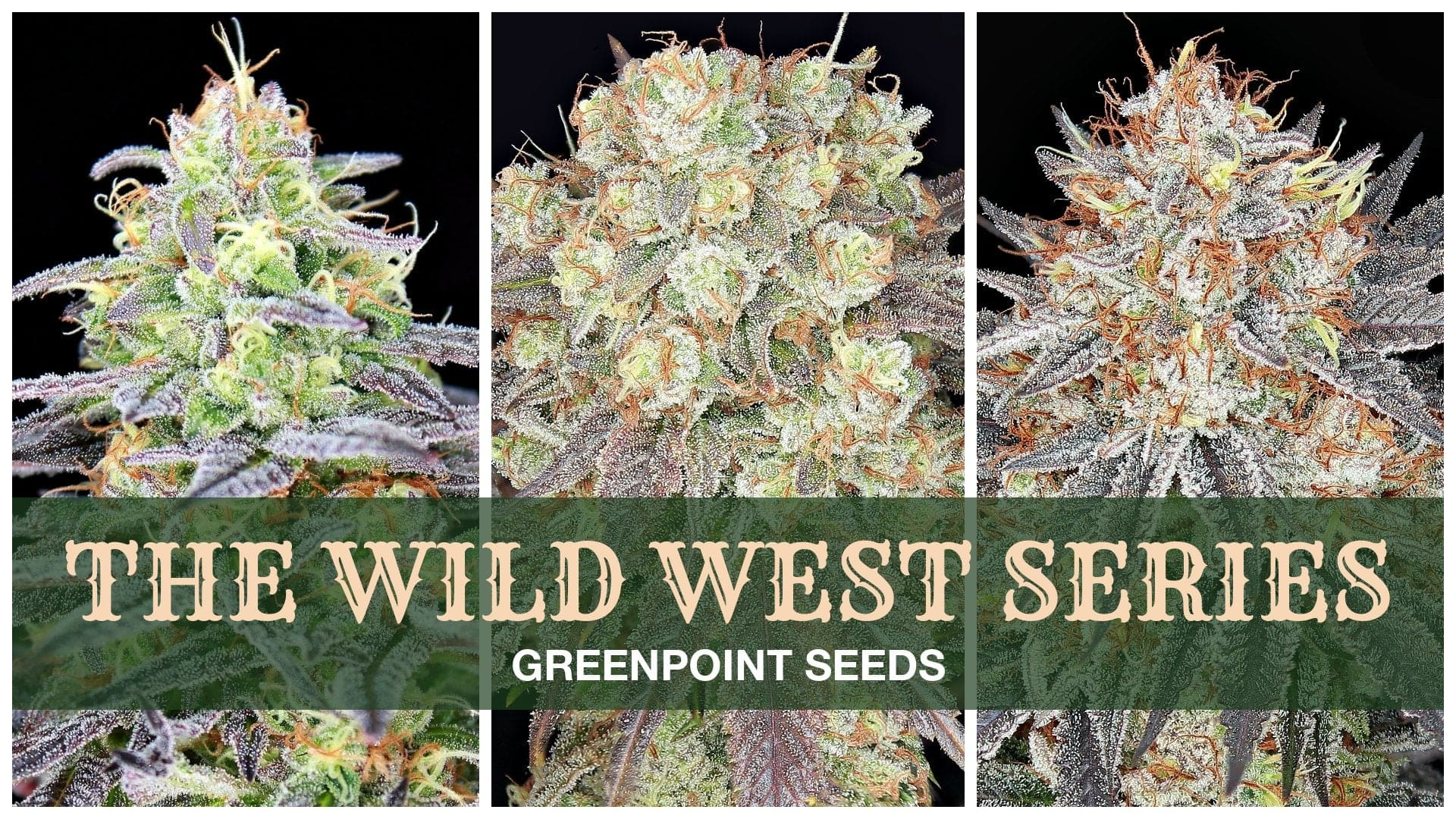 Greenpoint Seeds - Wild West Series Cannabis Seeds