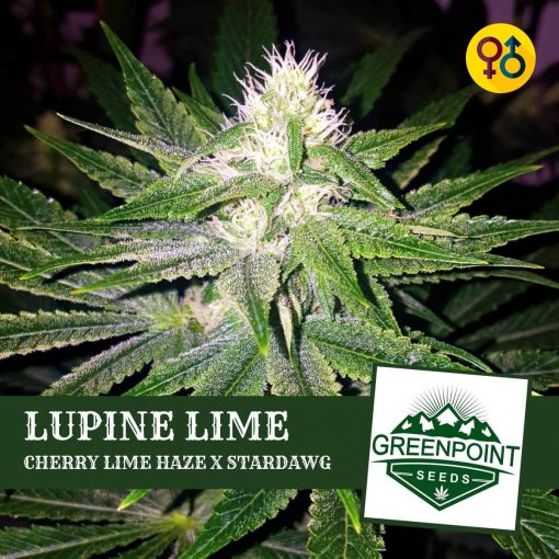 Lupine Lime Cannabis Seeds - Cherry Lime Haze X Stardawg | Greenpoint Seeds