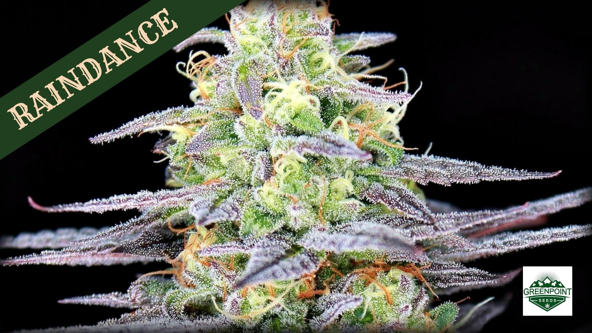 Raindance Cannabis Seeds