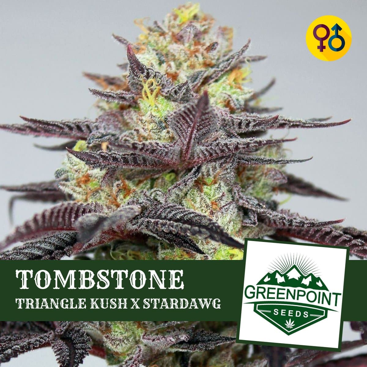 Tombstone Cannabis Seeds - Triangle Kush Strain | Greenpoint Seeds