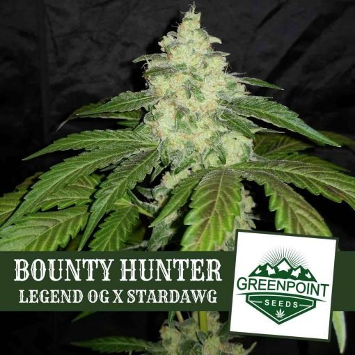 Bounty Hunter Legend OG x Stardawg Greenpoint Seeds
