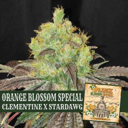 Orange Blossom Special Clementine x Stardawg Greenpoint Seeds