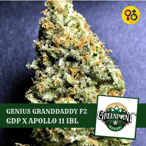 Genius Granddaddy F2 - Candyland V2 x Genius Granddaddy F2 Greenpoint Cannabis Seeds