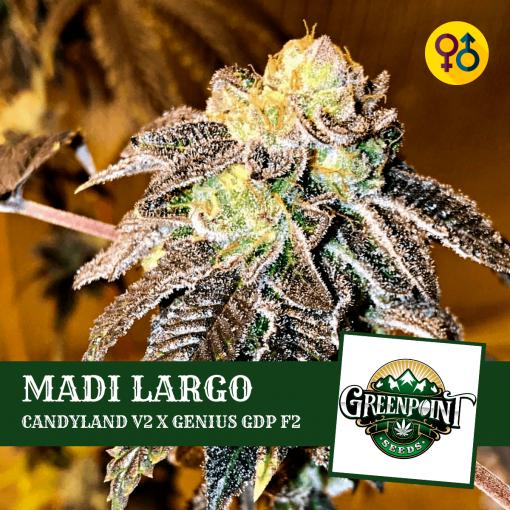 Madi Largo - Candyland V2 x Genius Granddaddy F2 Seeds - Greenpoint Seeds