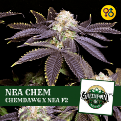 Nea Chem - Chemdawg x Nea F2 (Forum Cookies x Granddaddy Purple x Apollo 11 F2)