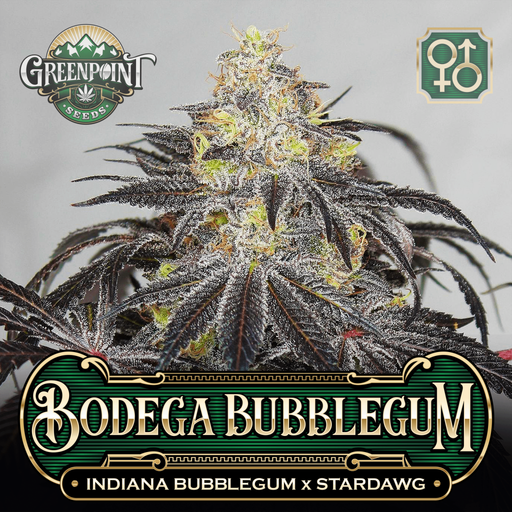 Indiana Bubblegum x Stardawg Seeds - Bodega Bubblegum Cannabis Seeds - US Seed Bank