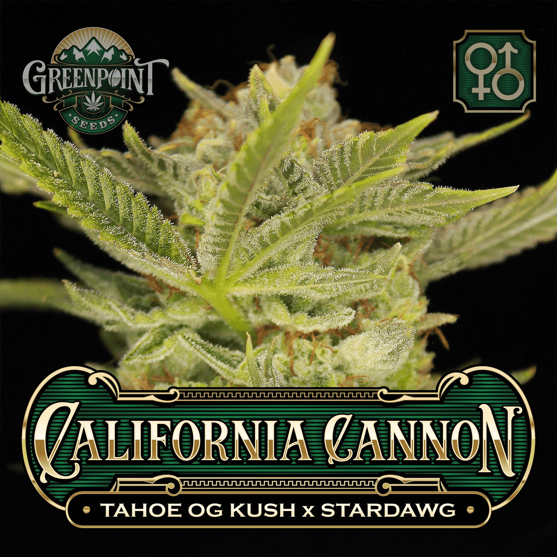 California Cannon - Tahoe OG Kush x Stardawg Strain   Greenpoint Seeds