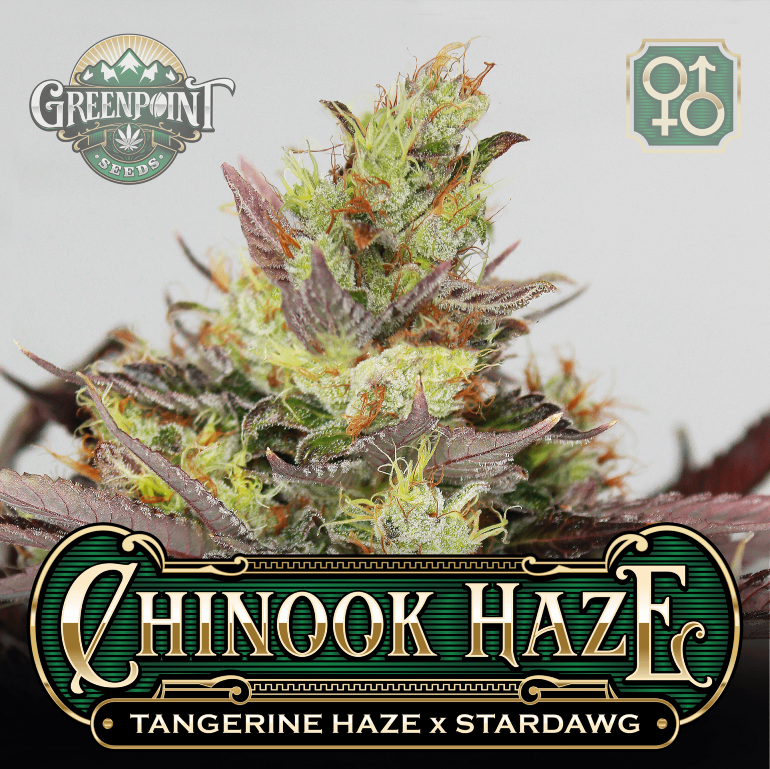 Tangerine Haze x Stardawg Seeds - Chinook Haze Cannabis Seeds - US Seed Bank